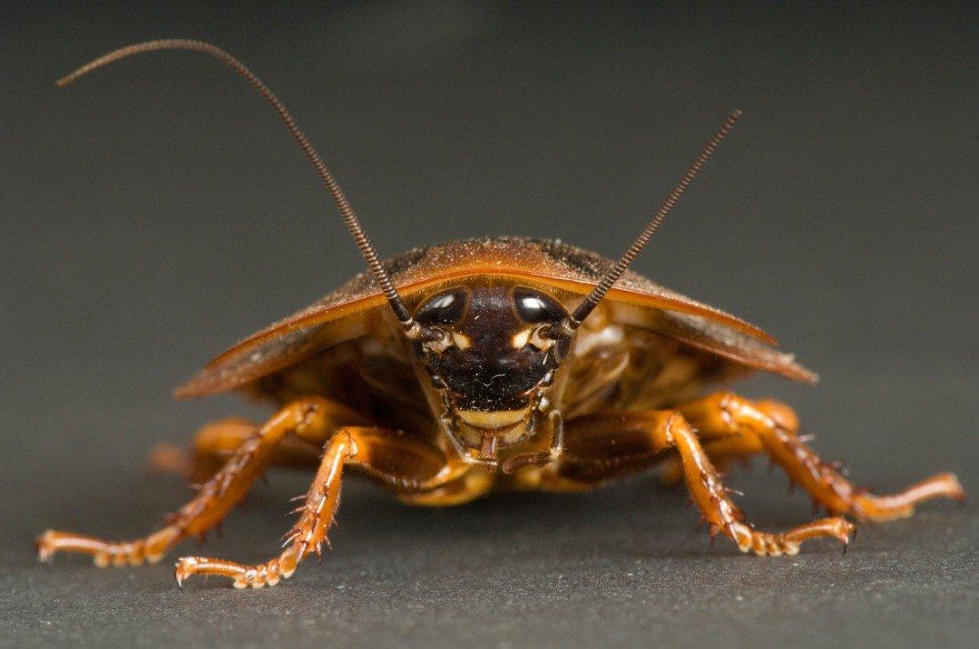 К чему снятся рыжие тараканы.