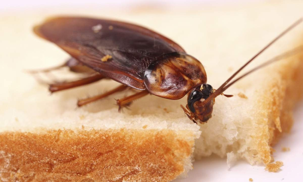 К чему снятся тараканы.